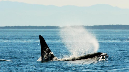 View of a whale on the San Juan Whale Watching Tour & Meal in Washington
