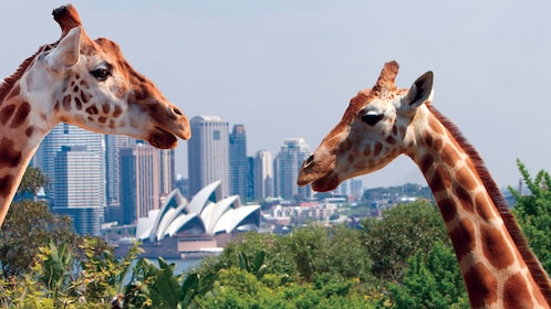 View of two giraffes with a beautiful view of Sydney in the background in Australia