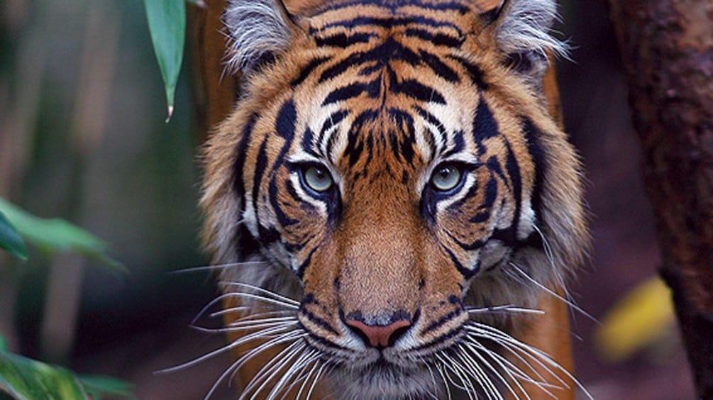 Tiger at Melbourne Zoo in Melbourne