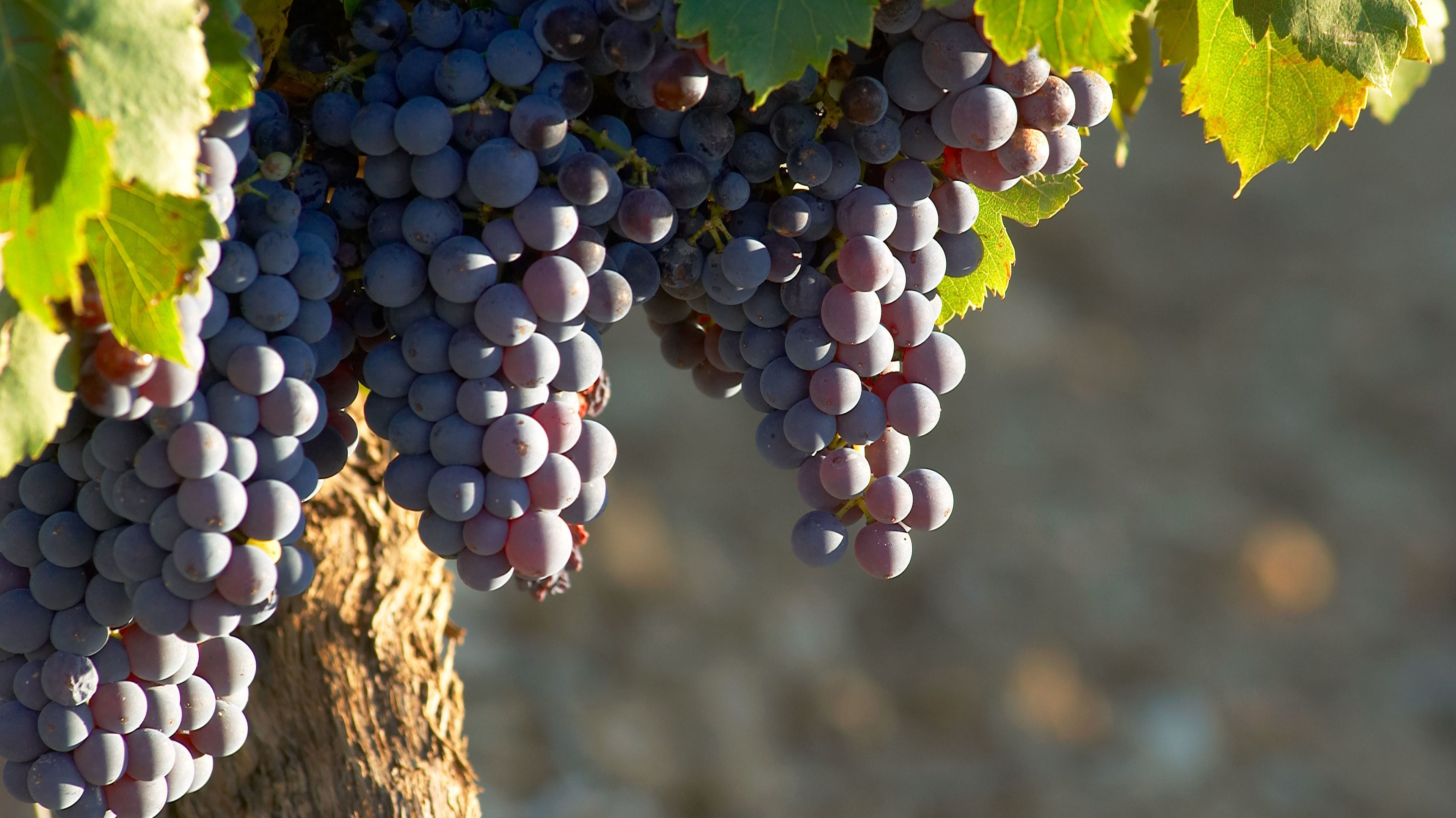 Grapes on the vine at a vineyard in the Rhone Valley
