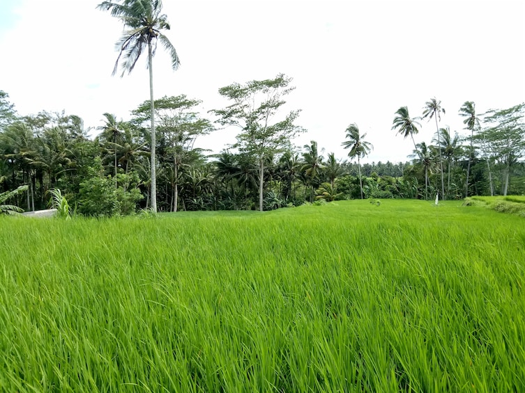 Show item 3 of 10. Bali Rice Field Trekking & Waterfall Private Tour with Lunch