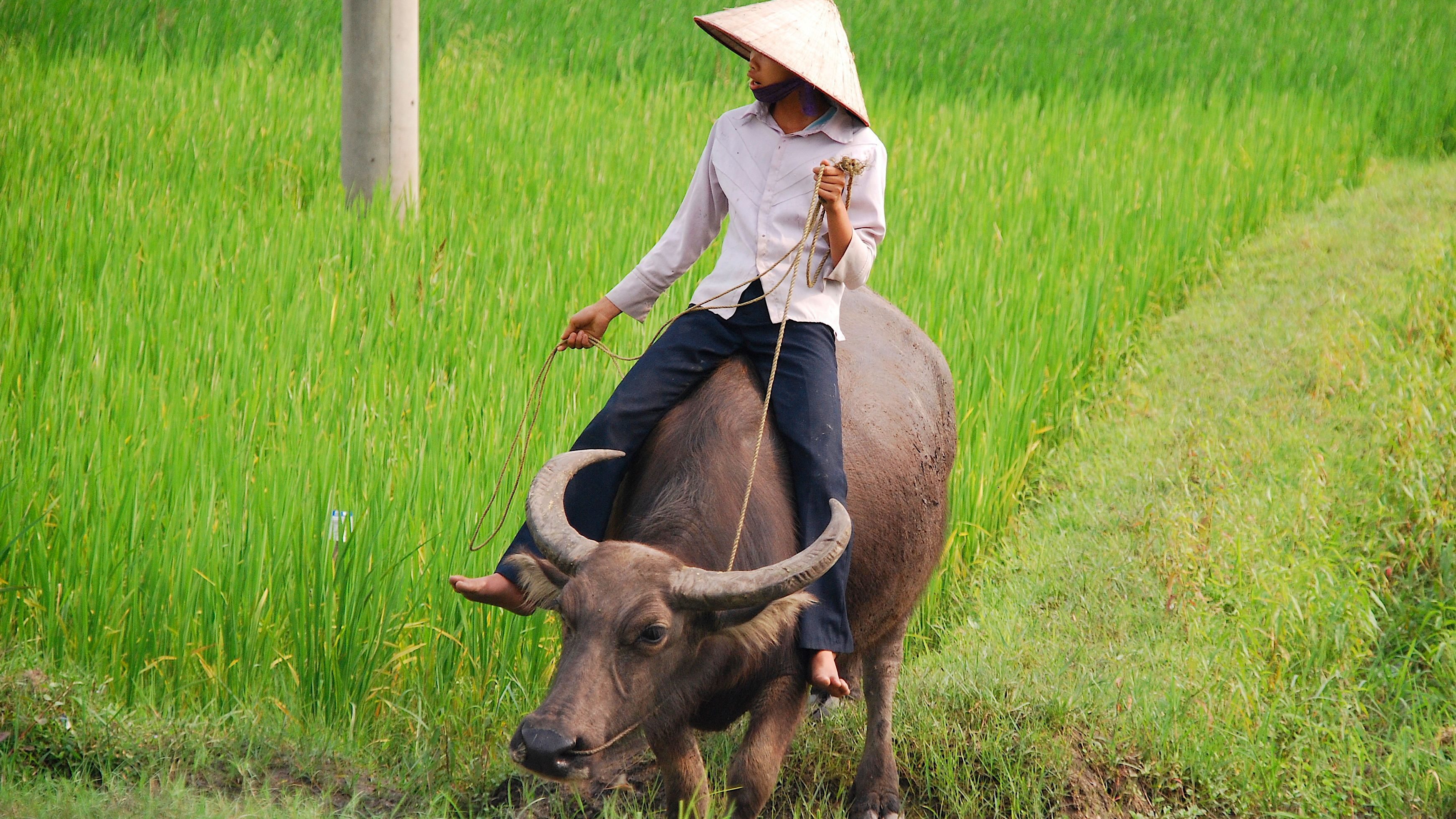 Man riding an Ox