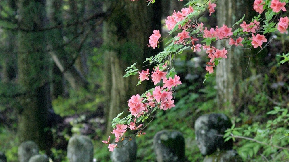 Blossoms on tree branches in garden in Nikko