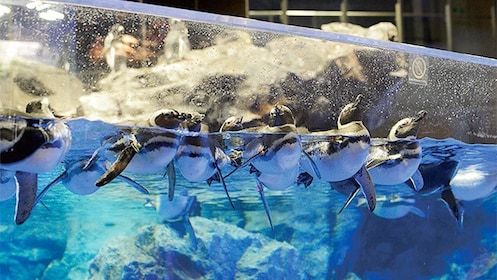Penguins swimming at the Sumida Aquarium in Tokyo