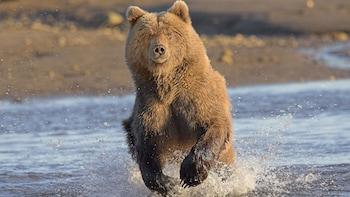Brown Bear Viewing Adventure