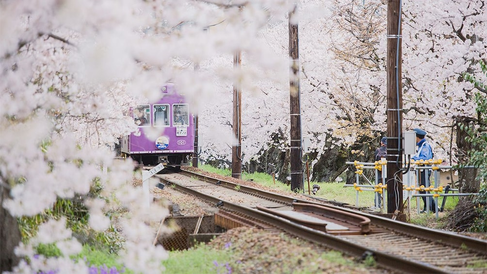 Show item 4 of 5. Cherry blossoms in Kyoto
