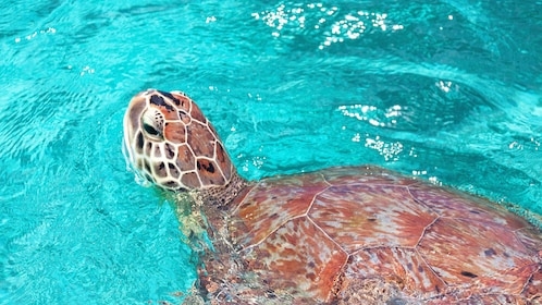 Sea turtle at surface during snorkeling around Culebra Island