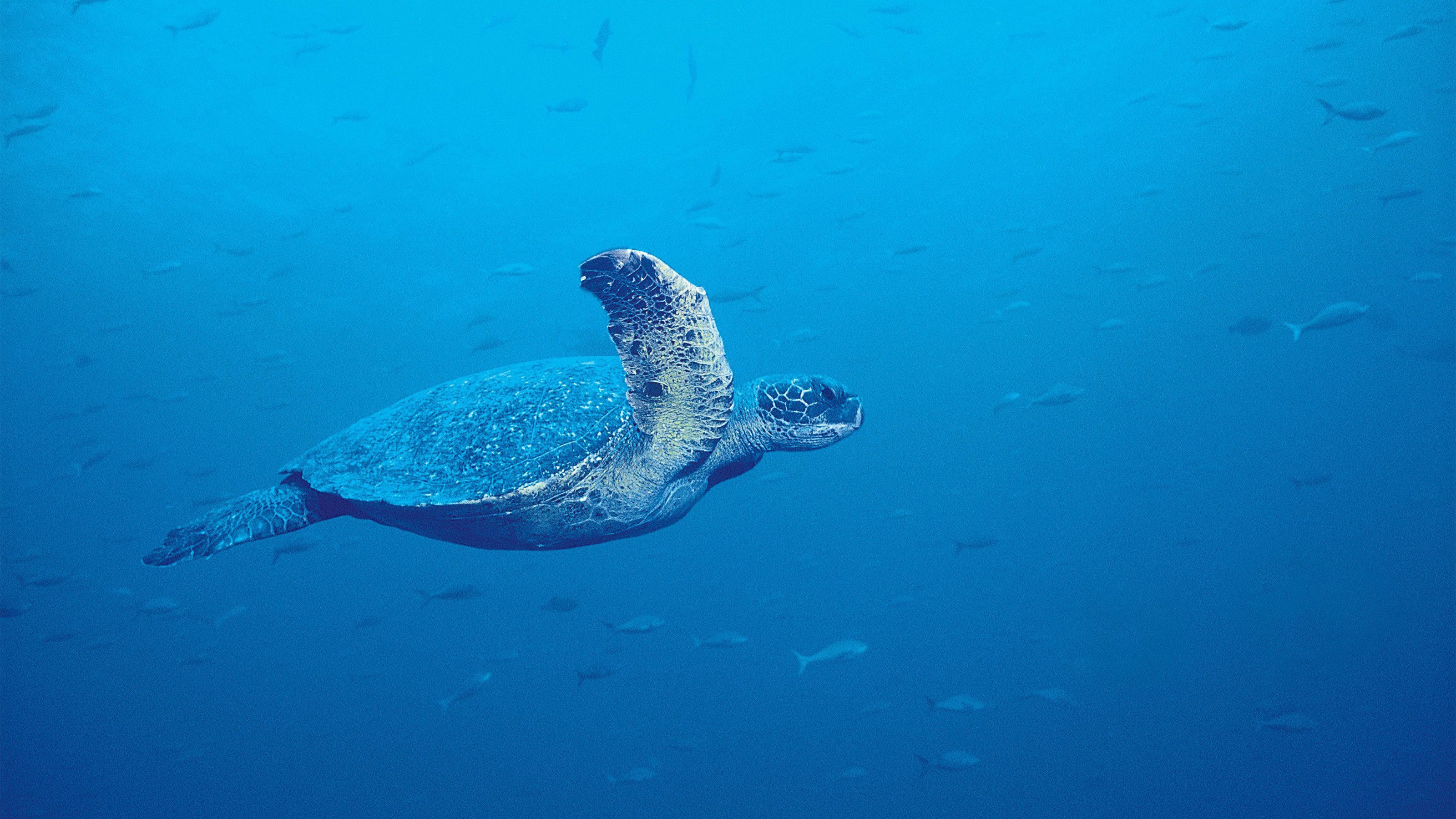 Sea turtle swimming under water in the glassbottom reef explorer in Maui