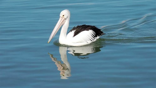 Close up of a Pelican at the Mandurah Canals in Perth