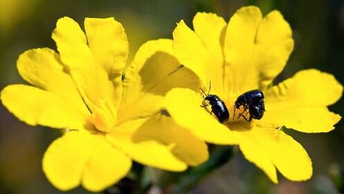 Beetles in wildflowers growing around Wave Rock in York