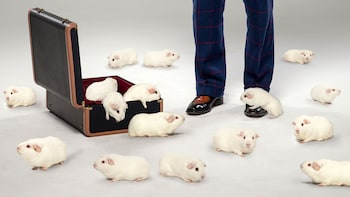 Show item 2 of 4. Man with a suitcase full of guinea pigs