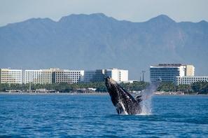 Crucero de avistamiento de ballenas jorobadas con desayuno, comida y barra ...