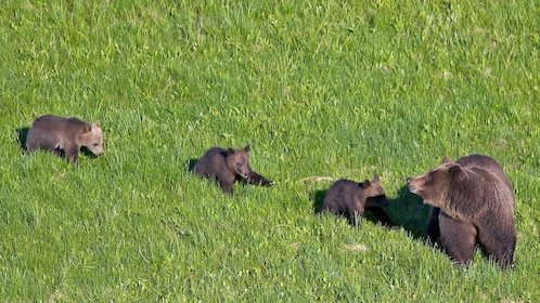 Grizzly bear with cubs in a field in Jackson Hole