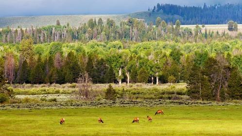 Elk grazing in a field in Jackson Hole