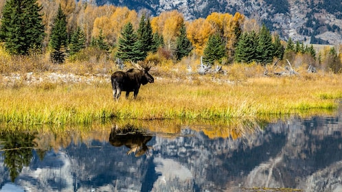 Moose next to a lake in Jackson Hole