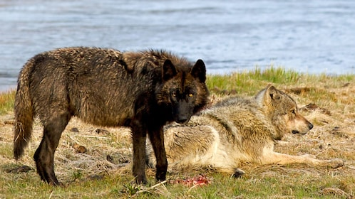 Pair of wolves next to a river in Jackson Hole
