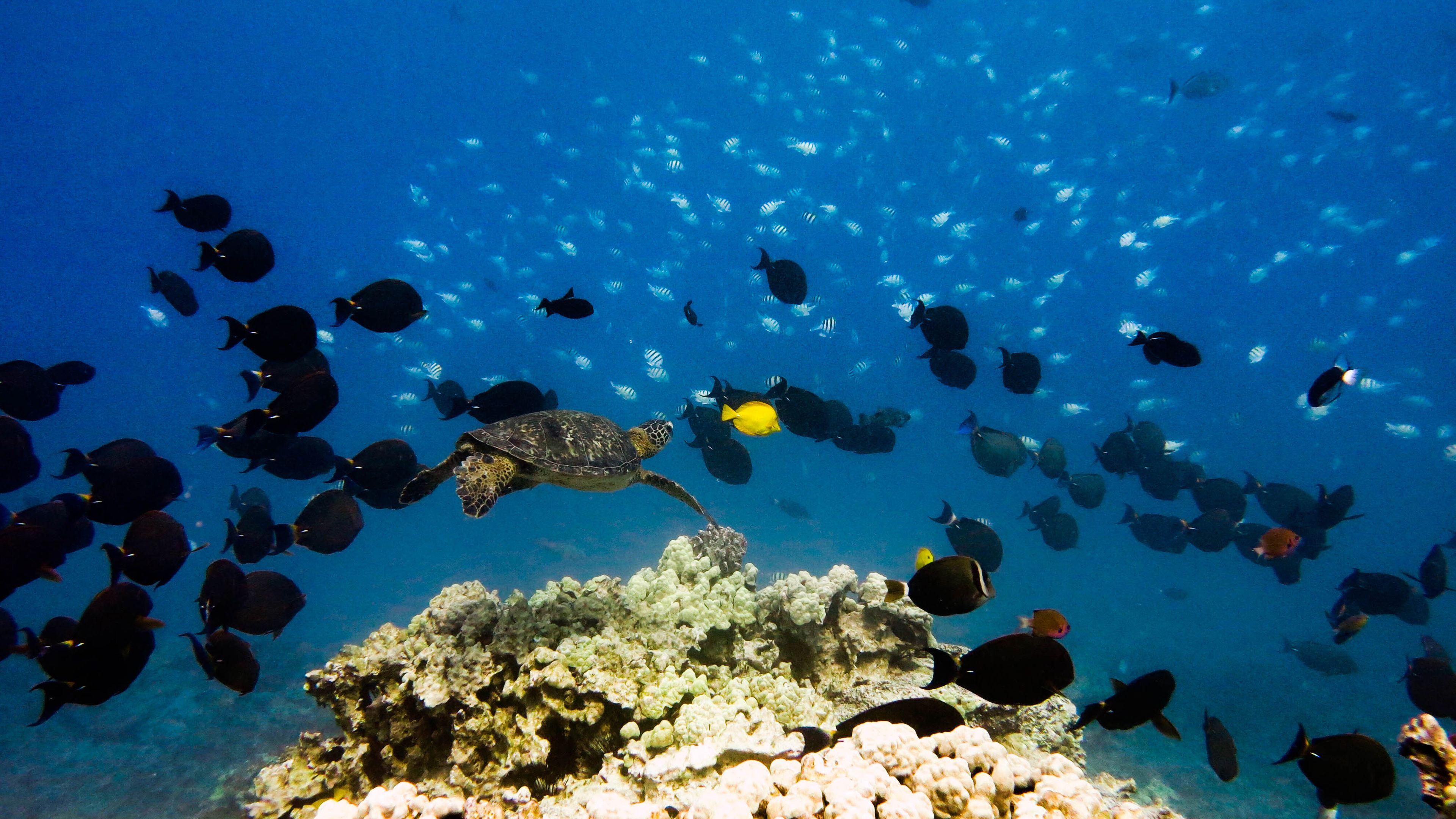 Turtle and fish swimming near coral reef on Big Island