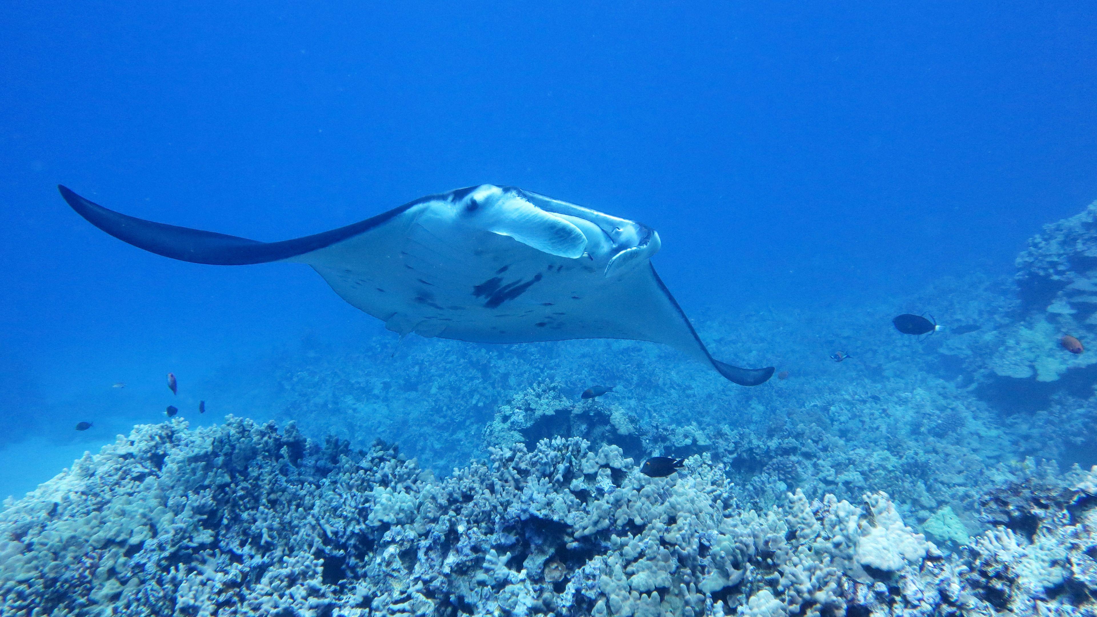 Manta ray on Big Island