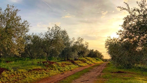 Sun rising over field of olive trees in Seville