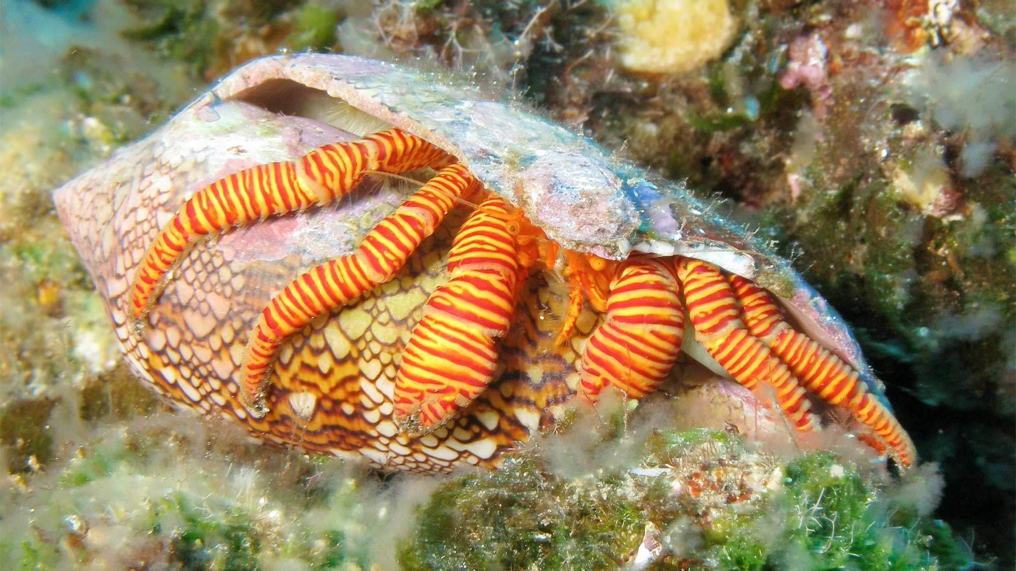 Hermit crab in Maui