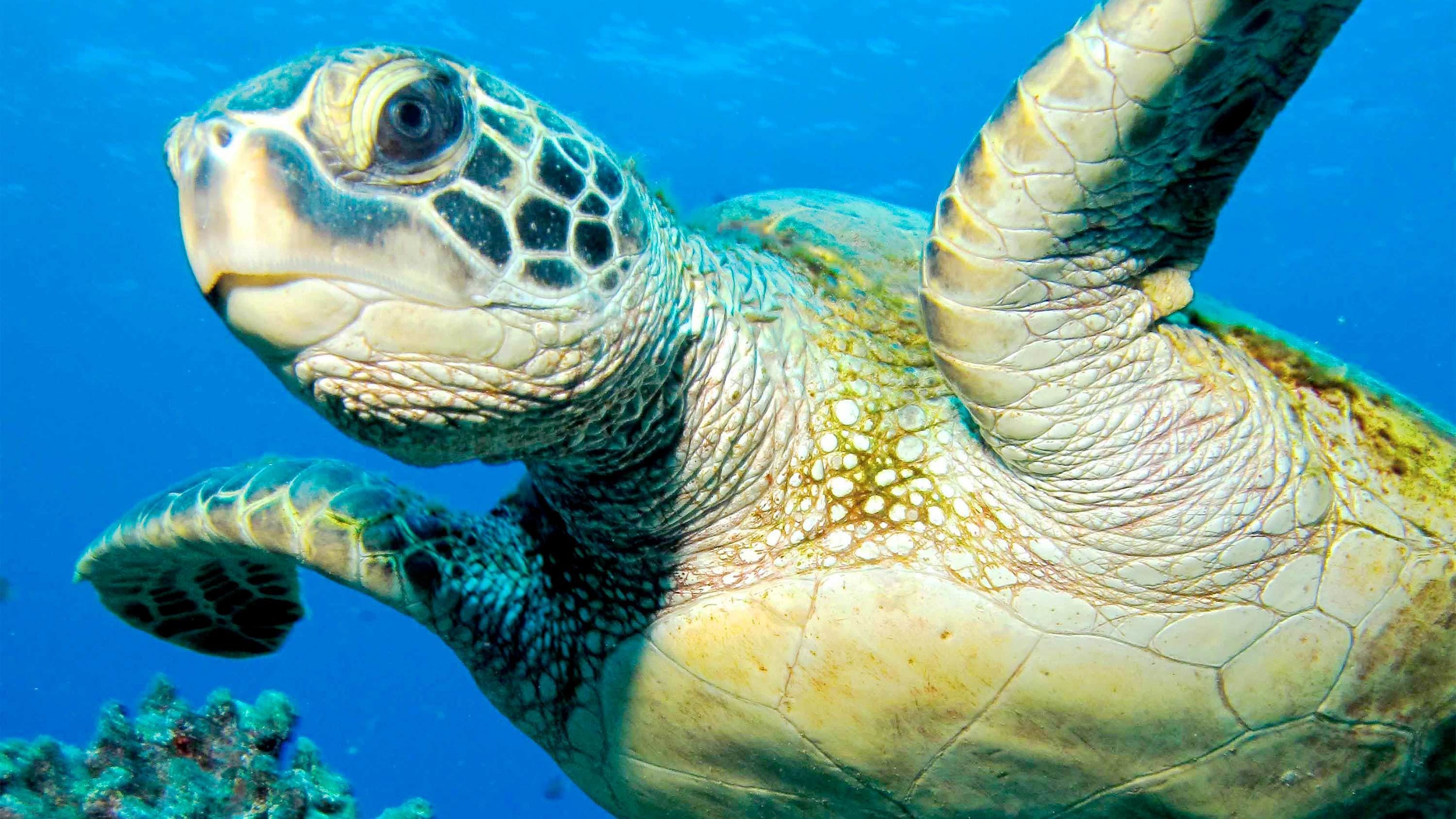 Sea turtle on the Shore Dive for Certified Divers tour in Maui