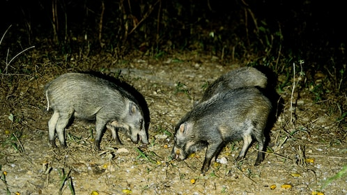 Small boars eating fruit while on after dark tour in Langkawi