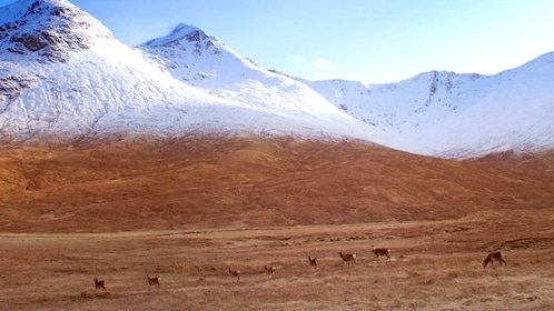 Highland cattle with snow covered hills in background