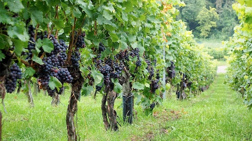 Private Wine Tasting Tour in Niagara Falls, Ontario