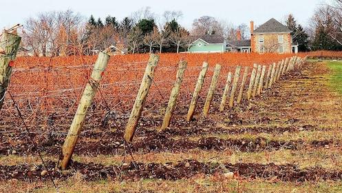 Dormant vineyards in Niagara Falls, Ontario