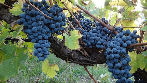Ripe grapes on the vine in Niagara Falls, Ontario