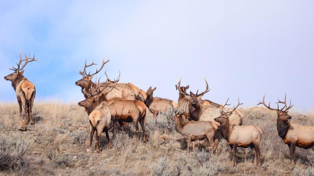 Show item 2 of 10. Herd of elk seen on safari in Grand Teton