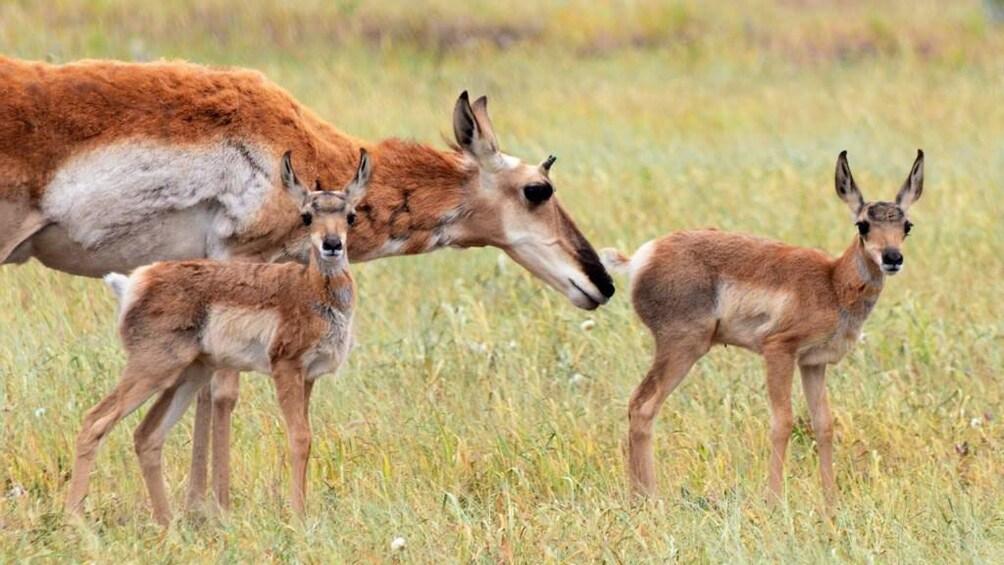 Show item 1 of 10. Antelope seen on safari in Grand Teton