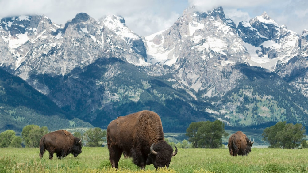 Show item 3 of 10. Bisons with mountain range in Grand Teton