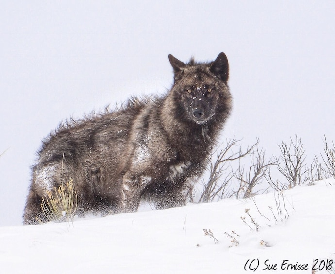 Show item 5 of 10. Grand Teton and National Elk Refuge Winter Day Trip