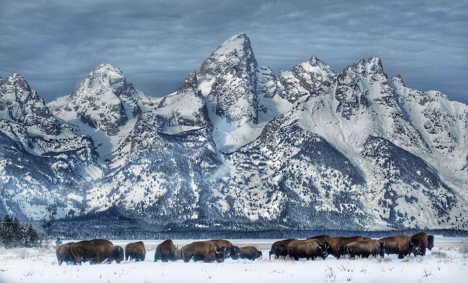 Show item 4 of 10. Grand Teton and National Elk Refuge Winter Day Trip