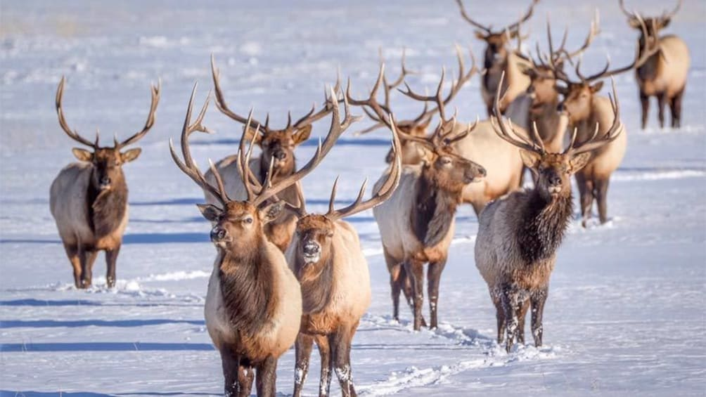 Show item 3 of 10. Group of reindeer on the Grand Teton And National Elk Refuge Winter Day Trip