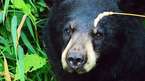 Close up of black bear in Yellowstone National Park