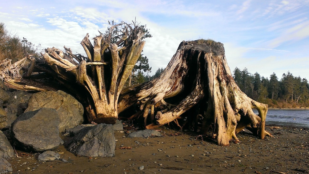 Show item 5 of 5. Large tree stumps lying on beach in Port Renfrew