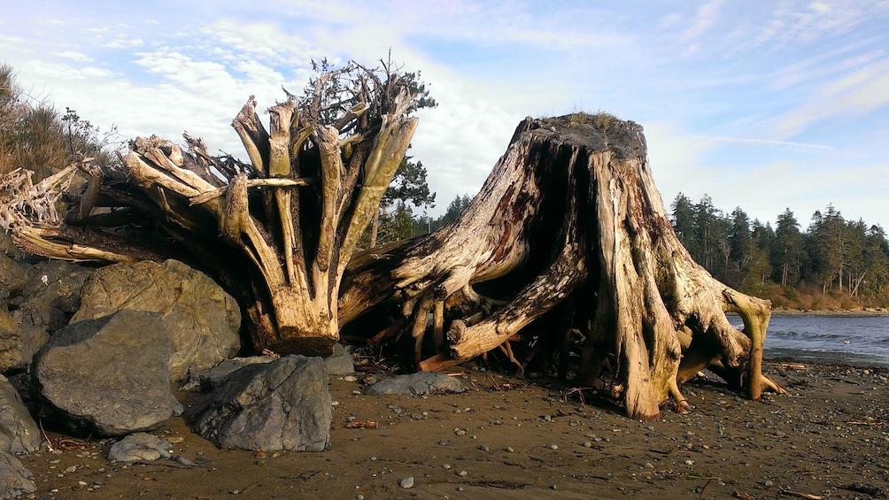 Show item 3 of 5. Large tree stumps lying on beach in Port Renfrew