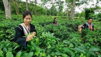 Tea-Garden-Tour mit Privattransfer ab Chiang Mai