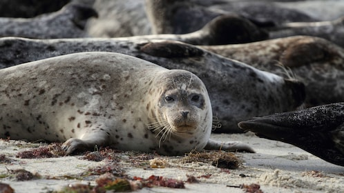 Harbor seals lying on beach in Somes Sound Fjord during cruise in Maine
