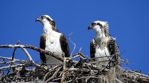 Ospreys seen in nest during cruise in Somes Sound Fjord in Maine