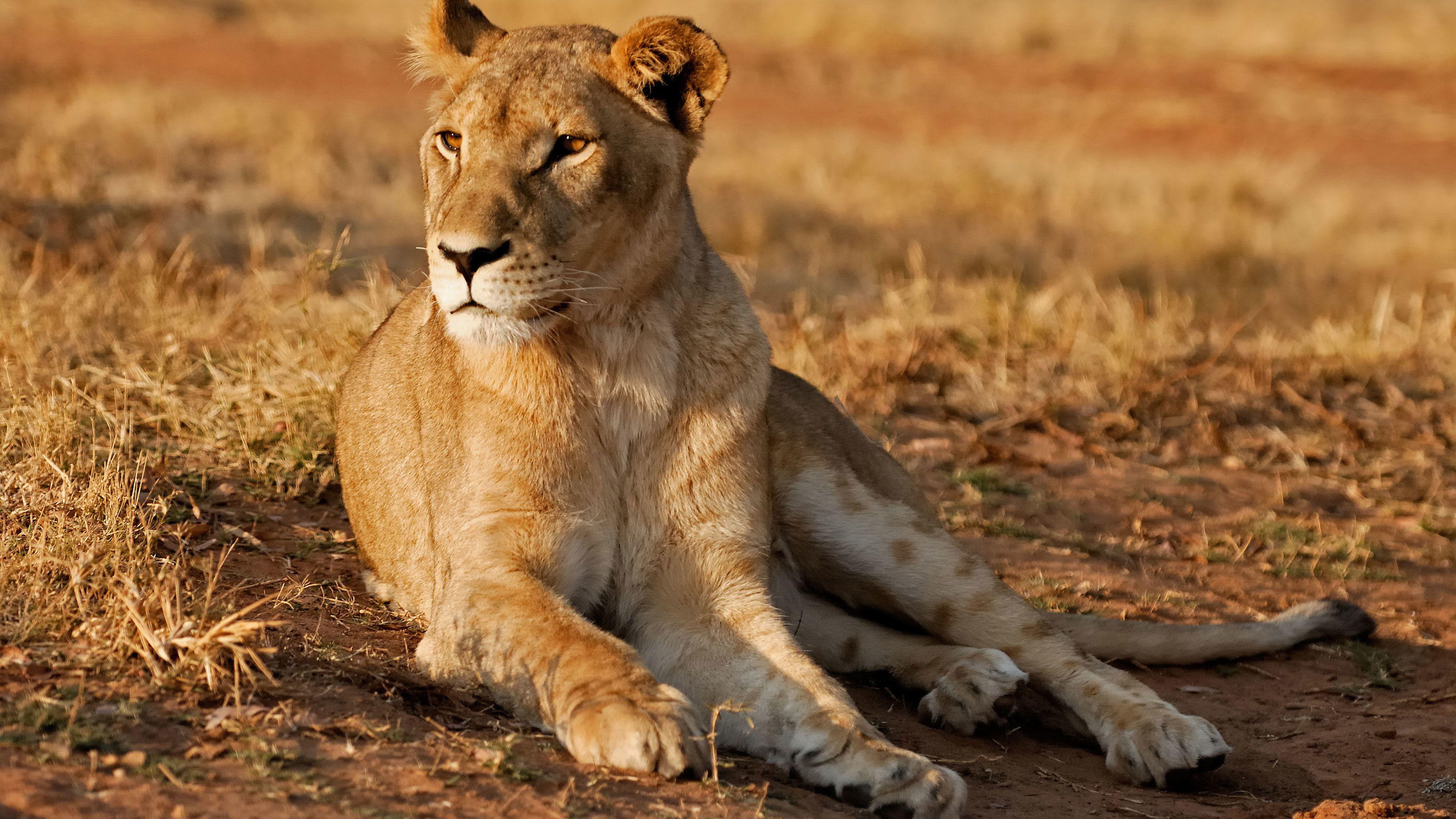 Halbtagestour durch den Lion Park