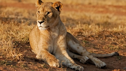 Lioness laying on ground in lion park in Johannesburg