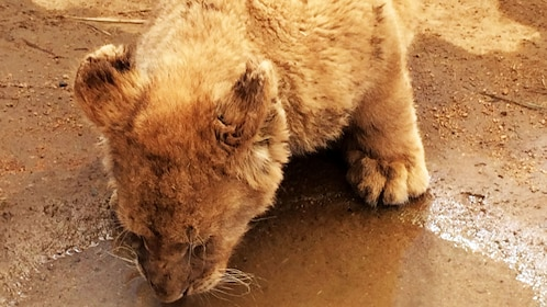 Small lion drinks from water puddle in lion park in Johannesburg