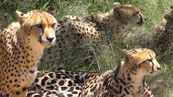 Half-Day Guided Tour of Ann van Dyk Cheetah Centre
