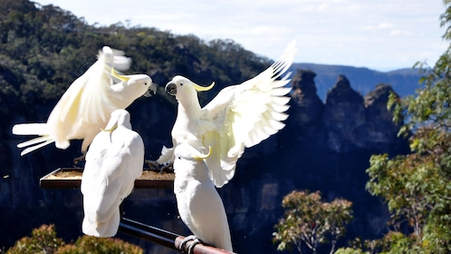 Group of white cockatoos in the Blue Mountains
