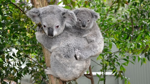 Koala Bear mother and baby in the Blue Mountains