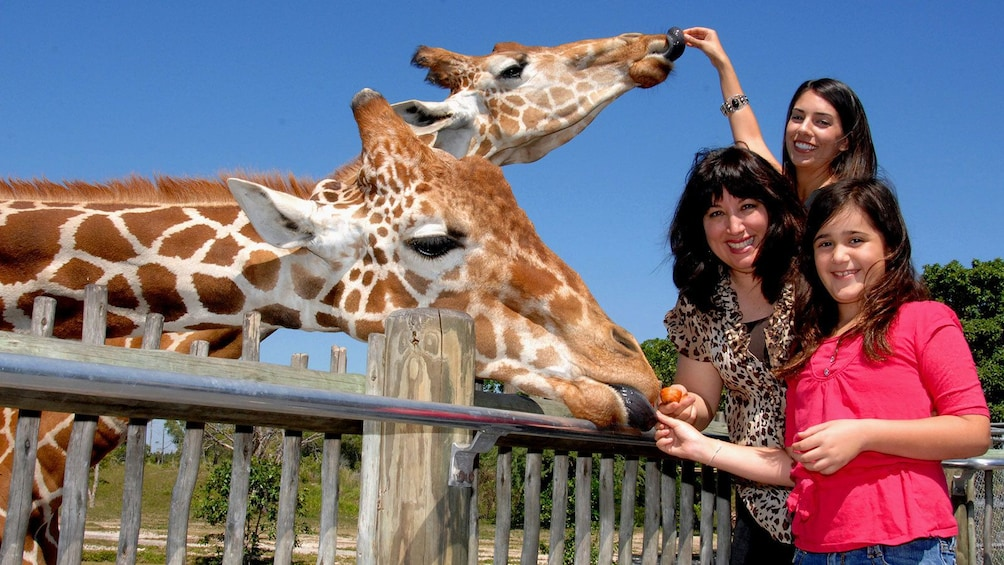 Show item 1 of 10. Family feeds giraffes at Zoo Miami