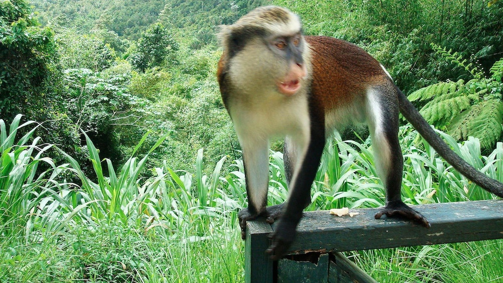 Show item 4 of 5. Monkey in Grenada